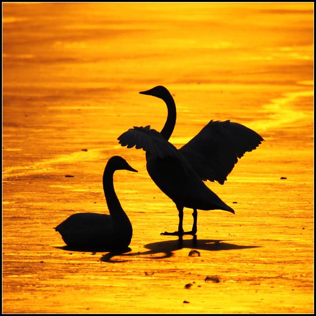 夕阳下的天鹅图片