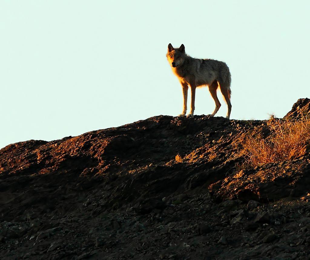 新疆的狼和山西的蛇