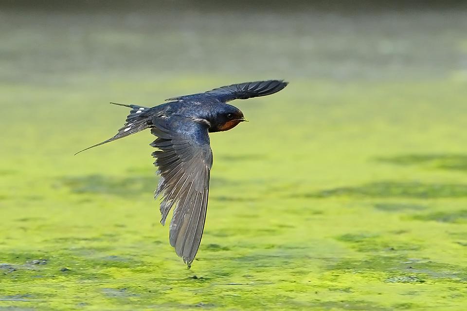 春天燕子动态图片