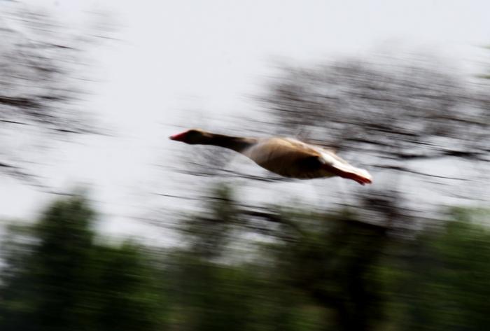 一组大雁飞翔图片