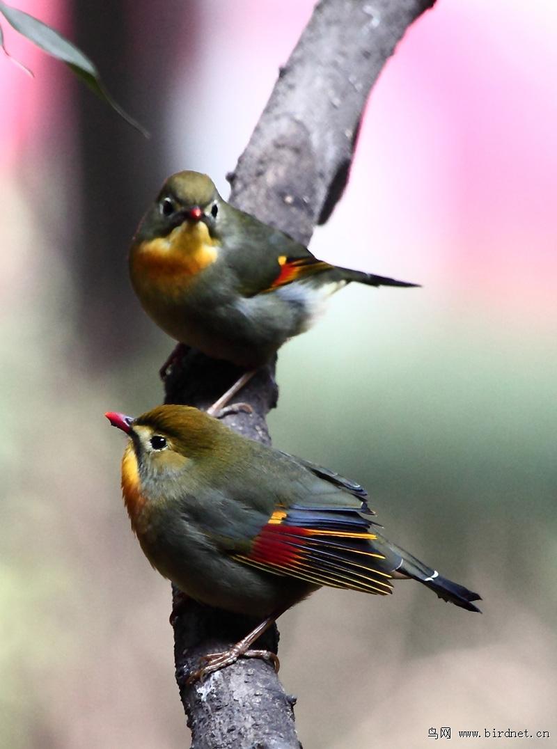 双鸟图(红嘴相思鸟)