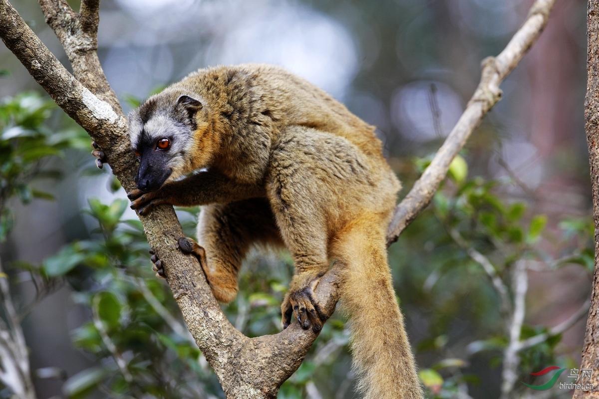 马达加斯加狐猴及其天敌-马岛獴,马岛鬣鹰等