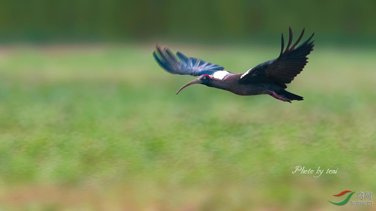 ,或于收割后的稻田中觅食昆虫、鱼、虾、蛇和青蛙,也啄食多种成熟