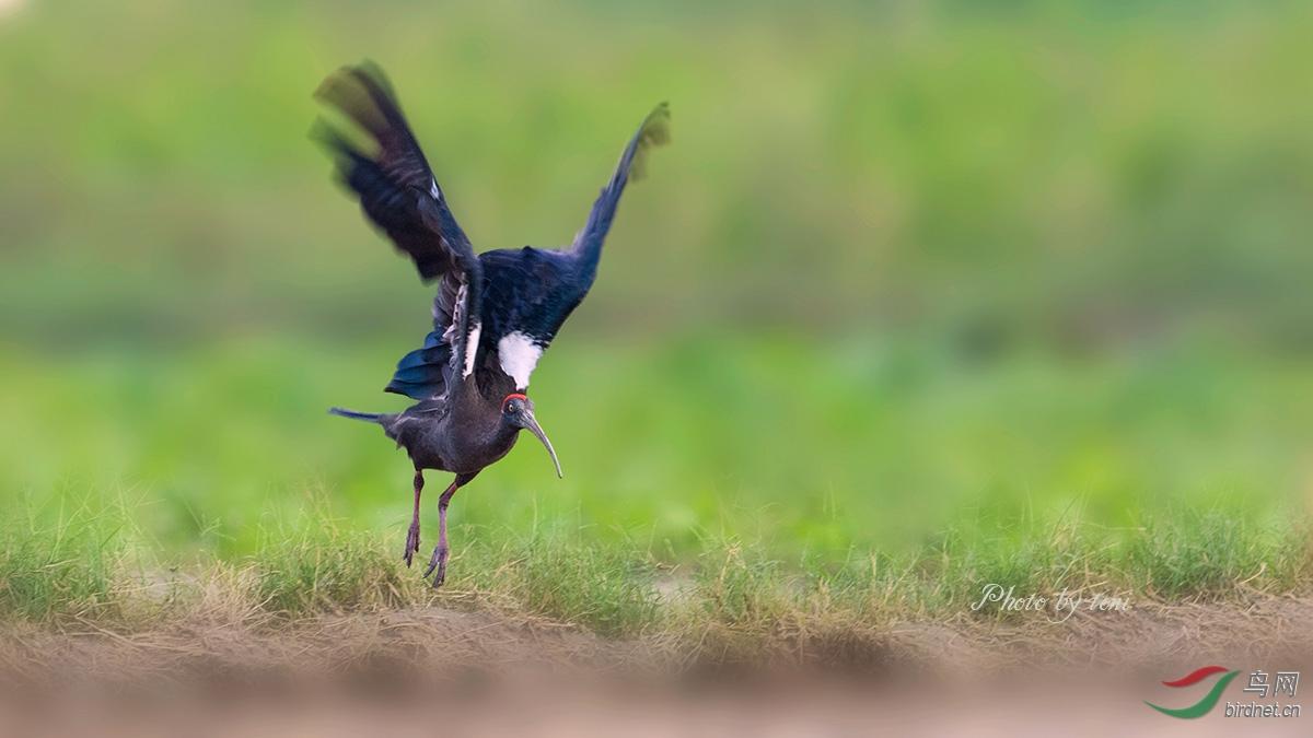 岸,或于收割后的稻田中觅食昆虫 蛇和青蛙,也啄食多种成熟的农作