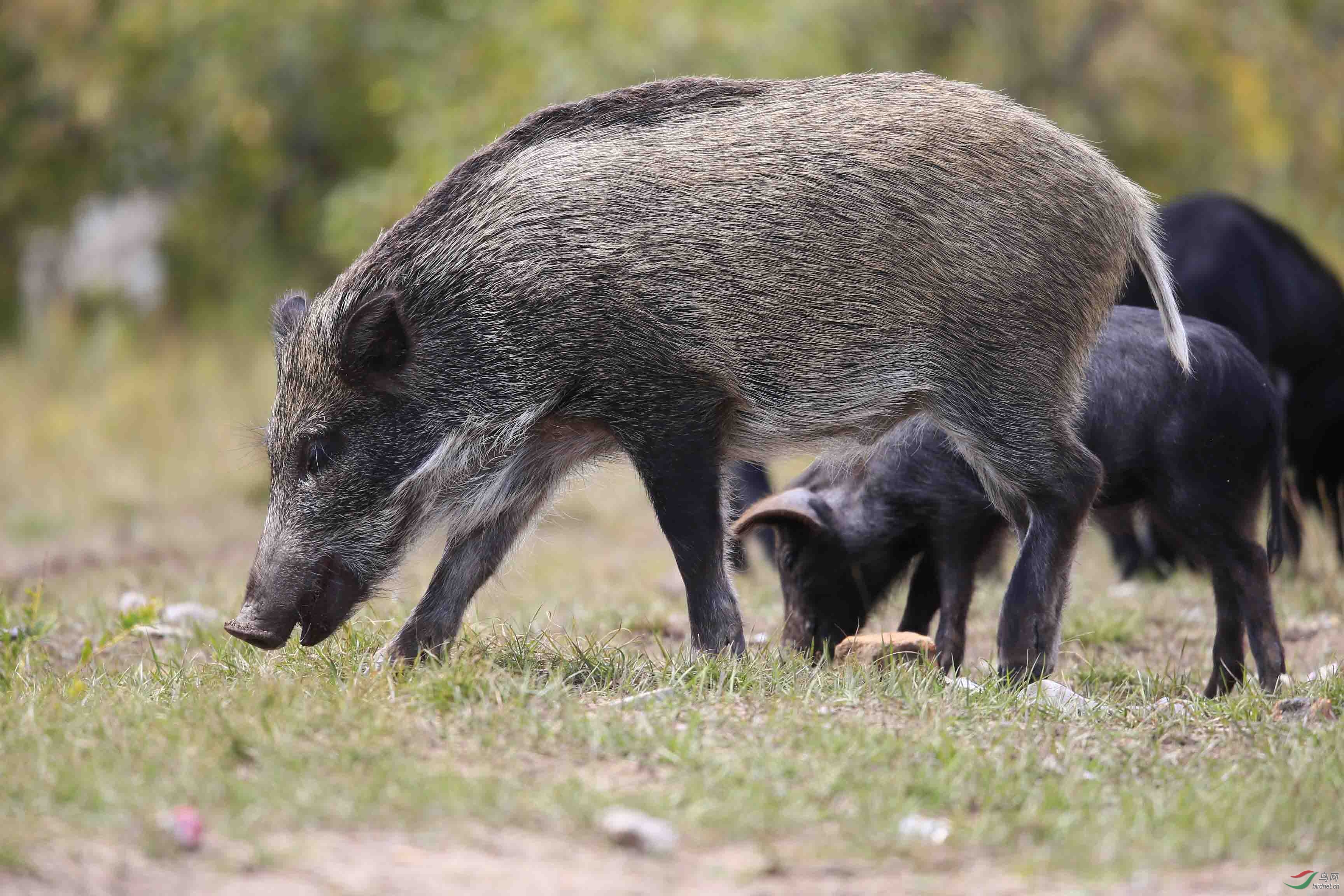 简笔画动物野猪
