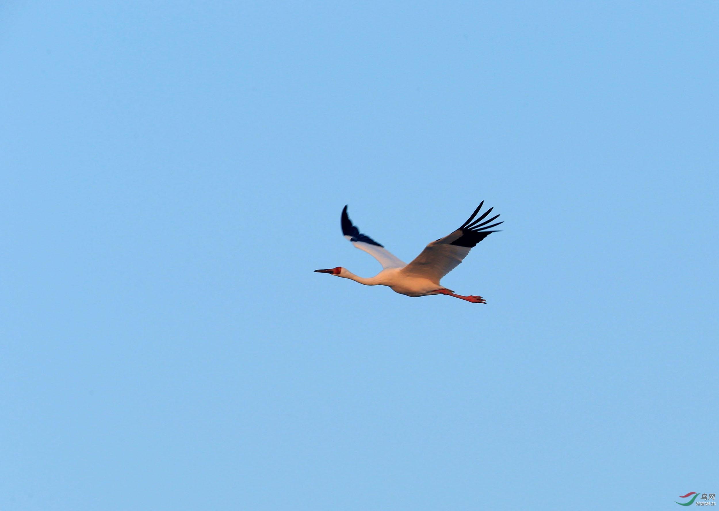 每年的春秋两季,吉林省西部的镇赉县的莫莫格湿地和通榆县的向海湿地是白鹤迁徙必须停息之所在,特别是莫莫格湿地,有记录显示世界上90%的白鹤曾在此停息,很是壮观,故有白鹤之乡的美誉。上周末跑到莫莫格拍了几只鹤,和朋友们分享!并祝观鸟拍鸟版如鹤冲天,越办越好!!!