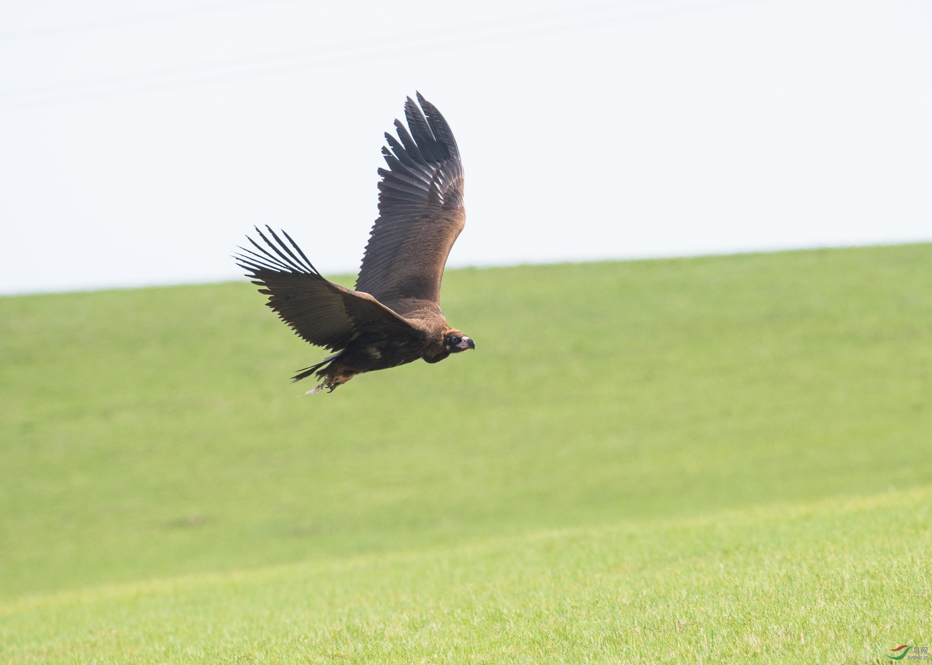 白音敖包的秃鹫