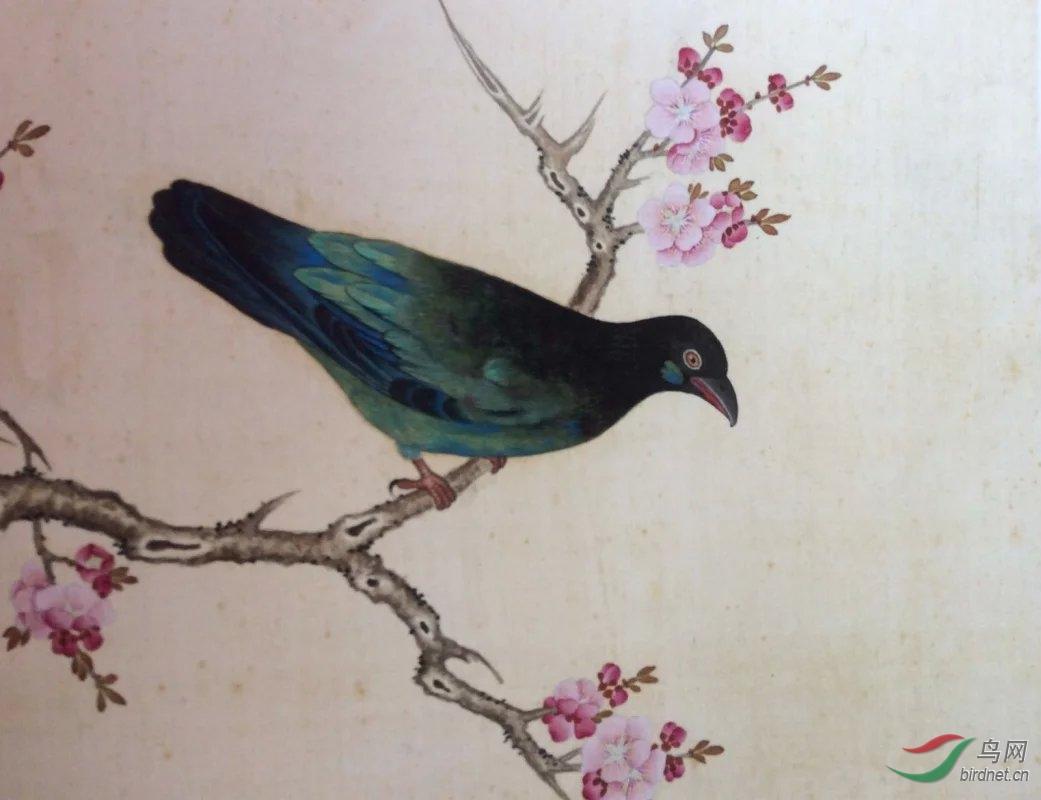 山鹦哥与国公鸟(读鸟谱札记之一) - 鸟类识别