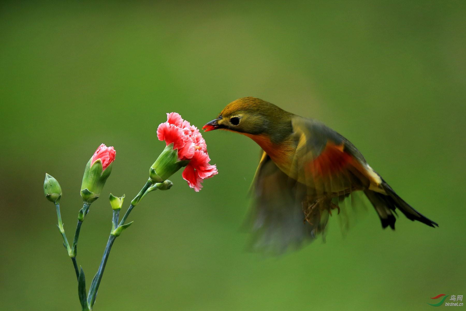 红嘴相思鸟[动态版]-贵州版Guizhou鸟网漫画肚子刀捅图片