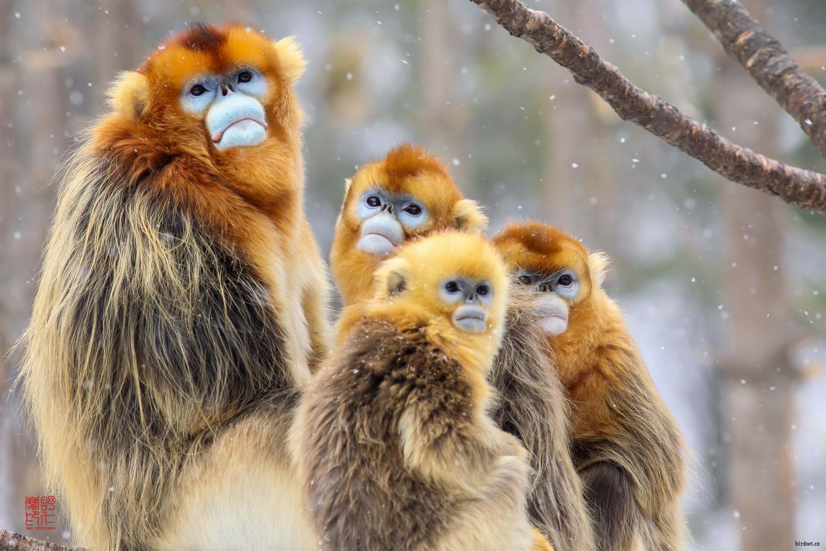 川金丝猴的全家福.给鸟友们拜年了!祝:猴年大吉!