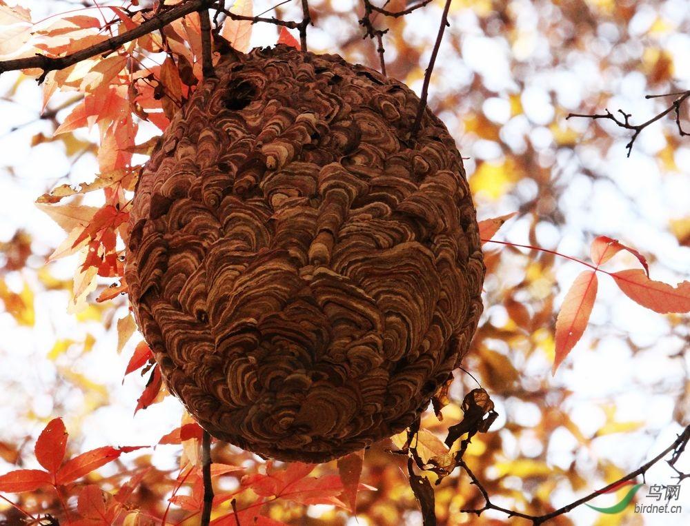 马峰巢-地理视频版鸟网风光老蝶的图片