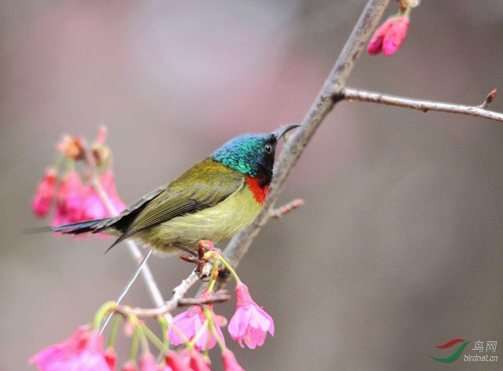 不讲文明的雄性叉尾太阳鸟 - 福建版 Fujian 鸟