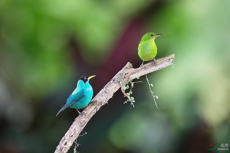 绿旋蜜雀求偶-视频版Video鸟网出事了yy视频下载图片