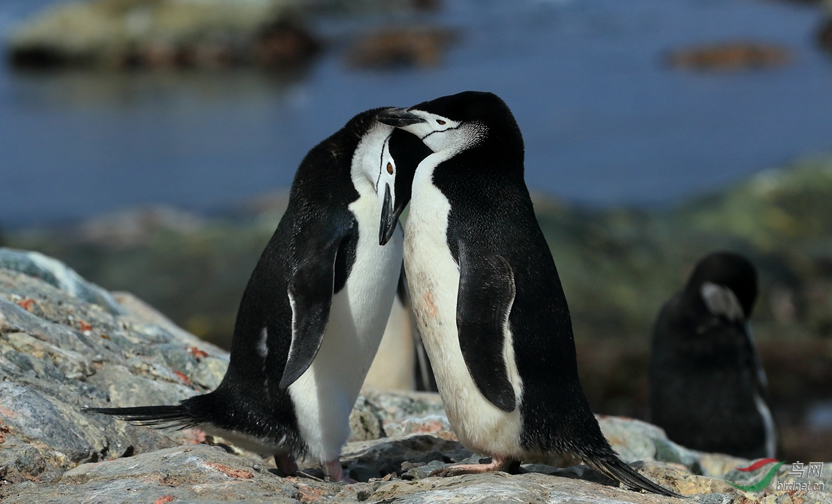 11帽带企鹅Chinstrap Penguin.jpg