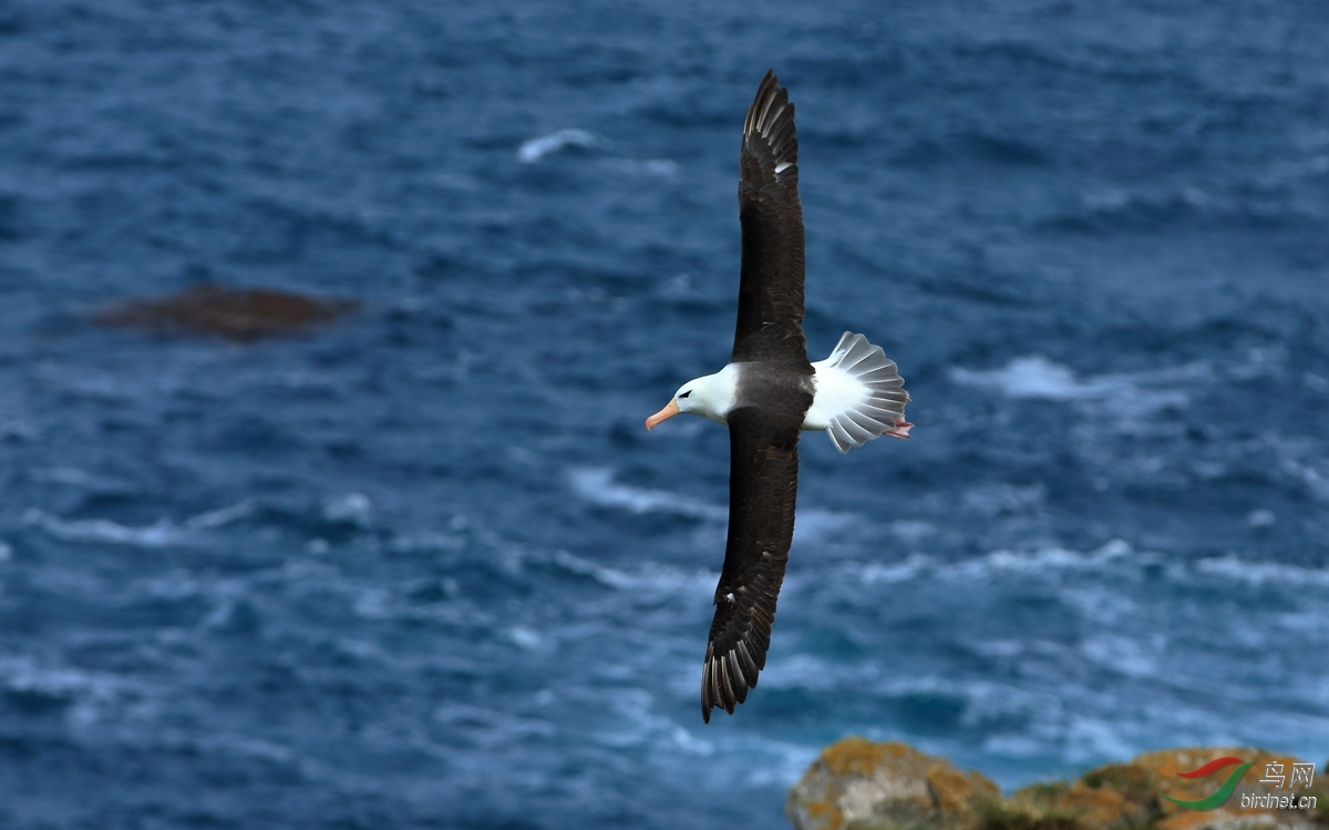黑眉信天翁Black-browed Albatross.jpg