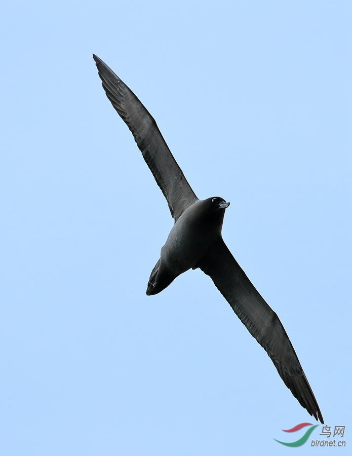 灰背信天翁Light-mantled Albatross.jpg