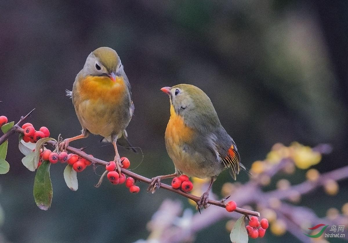 春季相思鸟-山东版Shandong鸟网生未漫画在线阅读图片