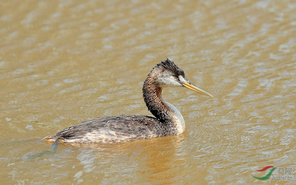 大鸊鷉Great Grebe.jpg