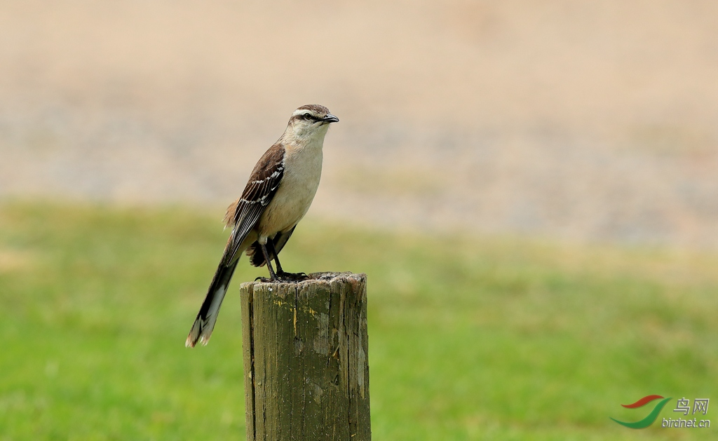 淡褐小嘲鸫Chalk-browed Mockingbird.jpg