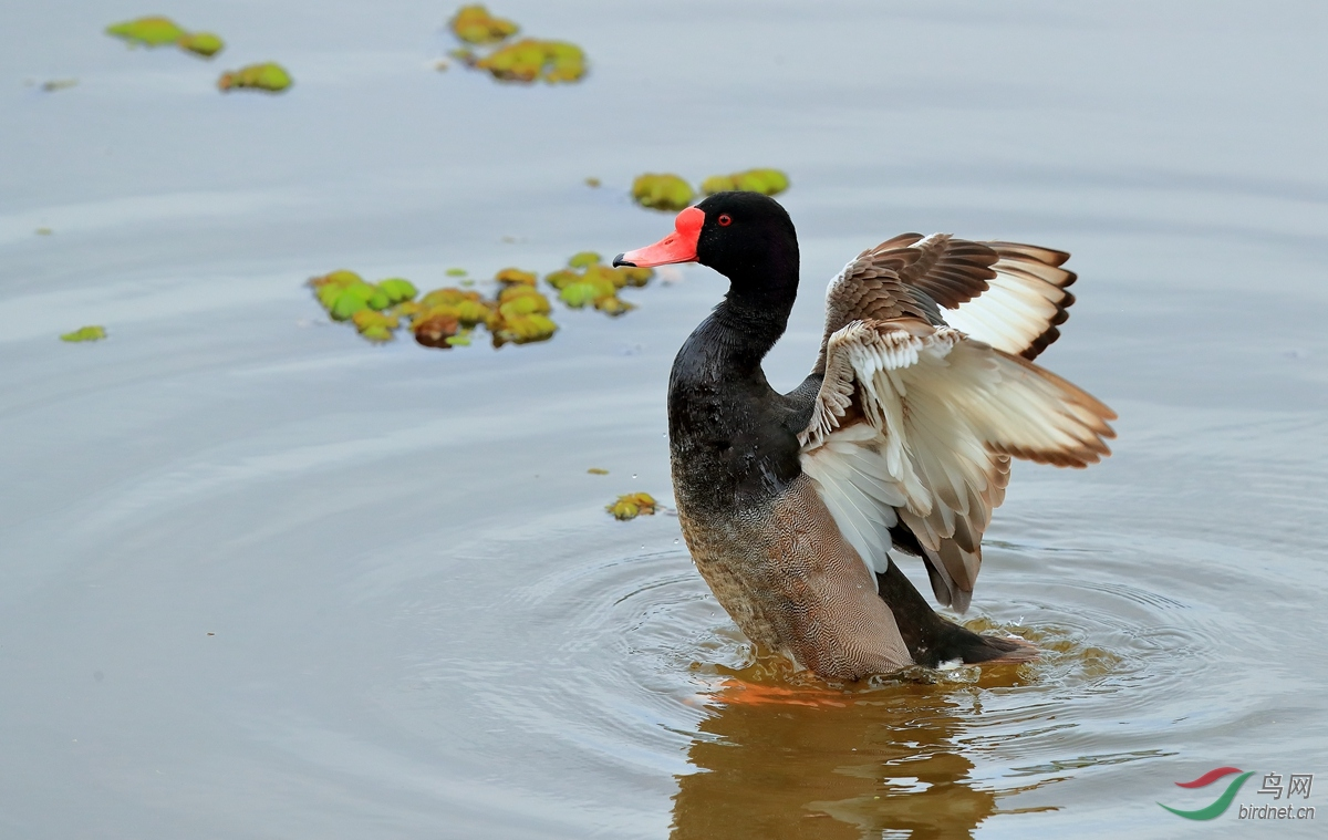 纷嘴潜鸭Rosy-billed Pochard.jpg