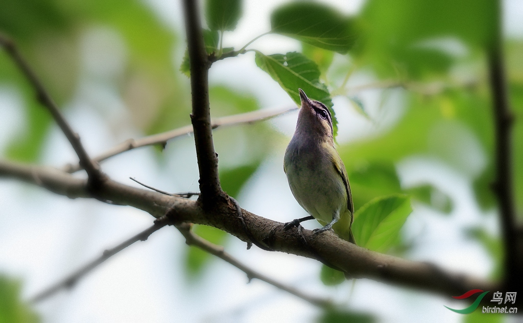 红眼莺雀Red-eyed Vireo.jpg