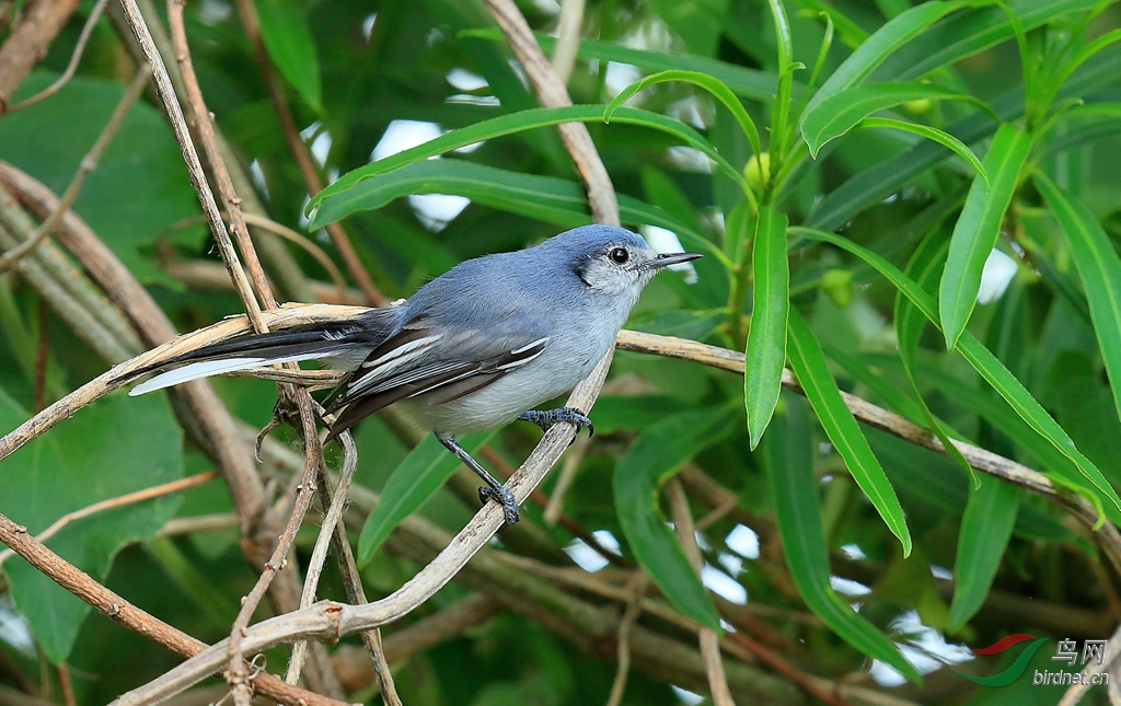 花脸蚋莺Masked Gnatcatcher.jpg