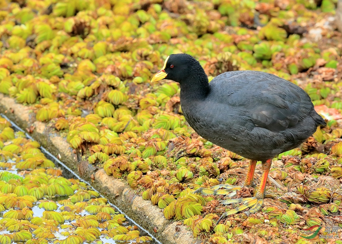 黄翅骨顶Red-gartered Coot.jpg
