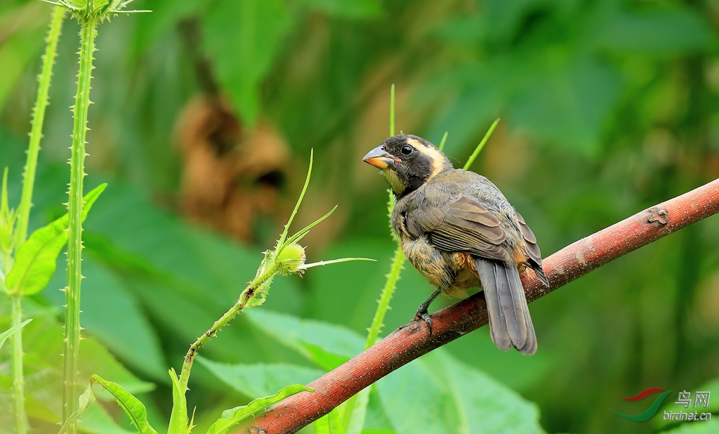 金嘴舞雀Golden-billed Saltator.jpg