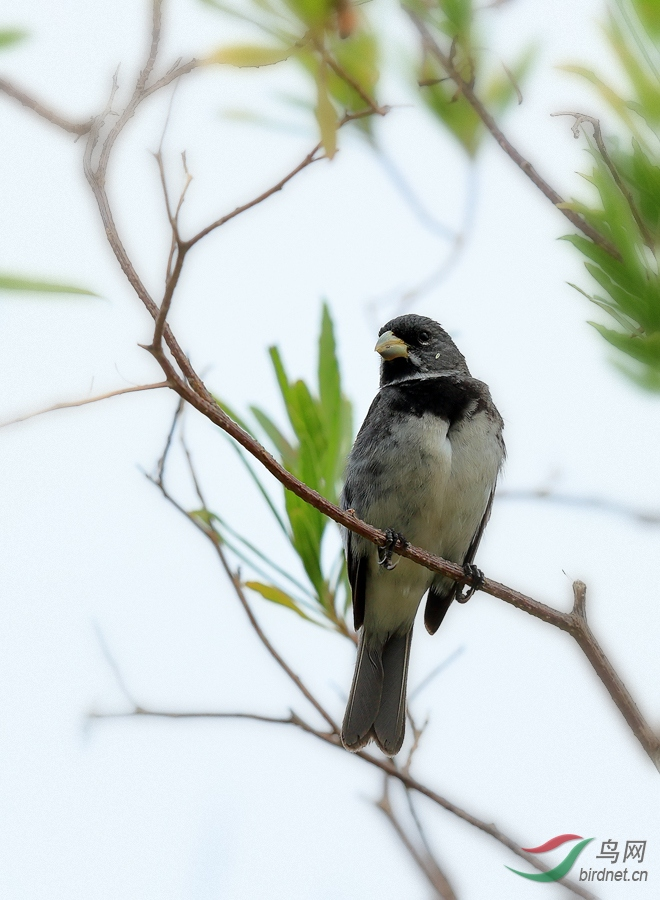 双领食籽雀Double-collared Seedeater.jpg