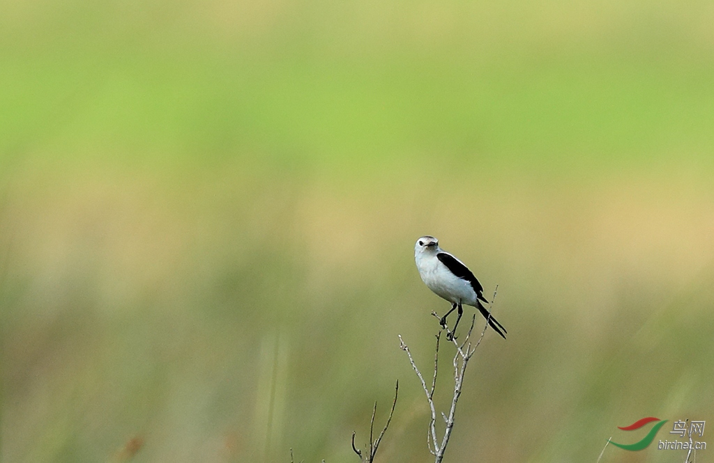 黑顶蒙霸鹟Black-crowned Monjita.jpg