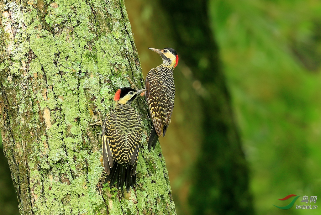 斑胸扑翅鴷Green-barred Woodpecker.jpg