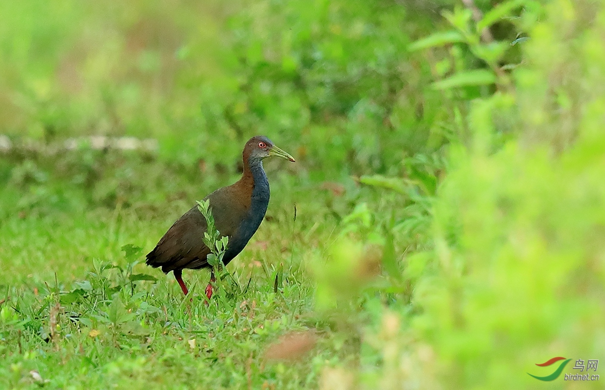 灰胸秧鸡Gray-breasted Crake.jpg