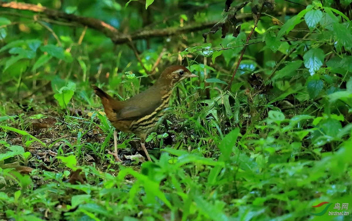 短尾蚁鸫Short-tailed Antthrush.jpg