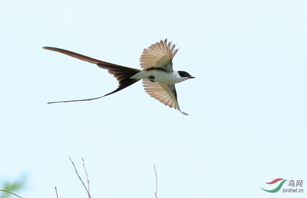 叉尾王霸鹟Fork-tailed Flycatcher.jpg