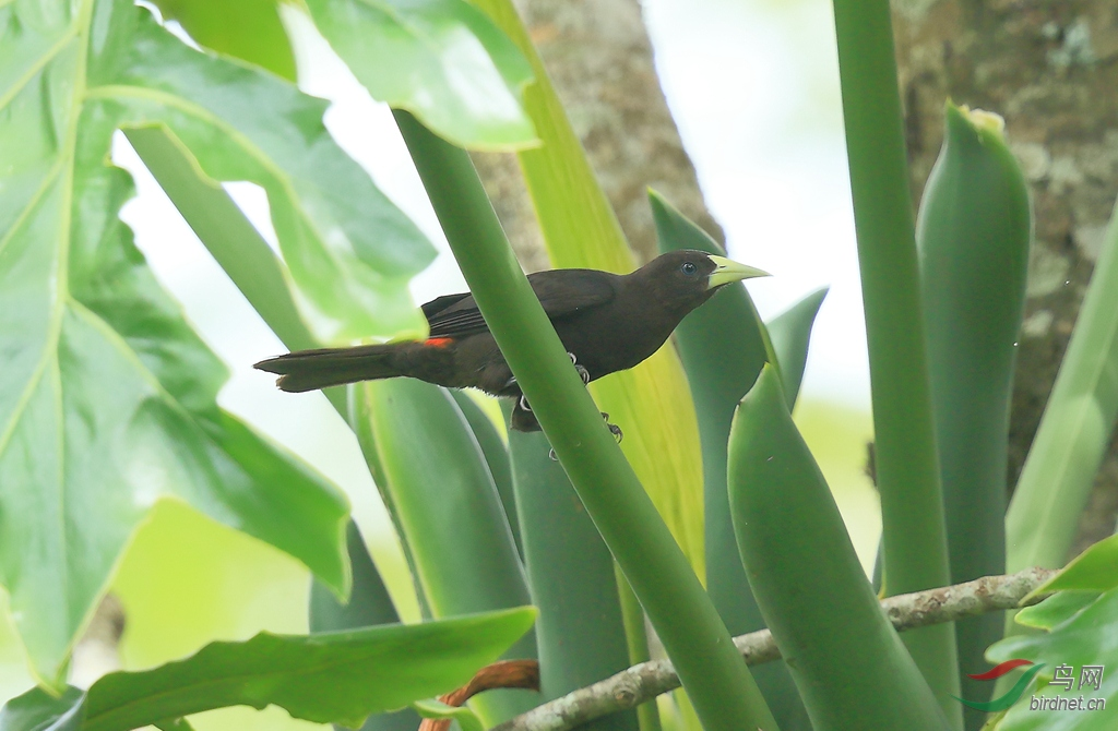 红腰酋长鹂Red-rumped Cacique.jpg