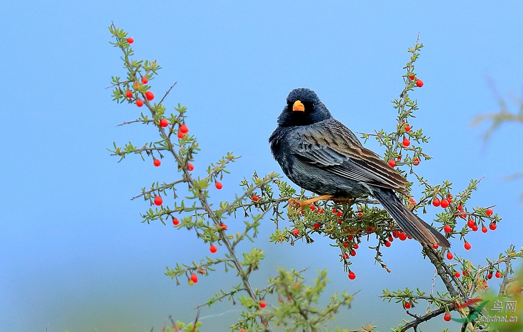 碳黑岭雀鹀Carbonated Sierra-Finch.jpg