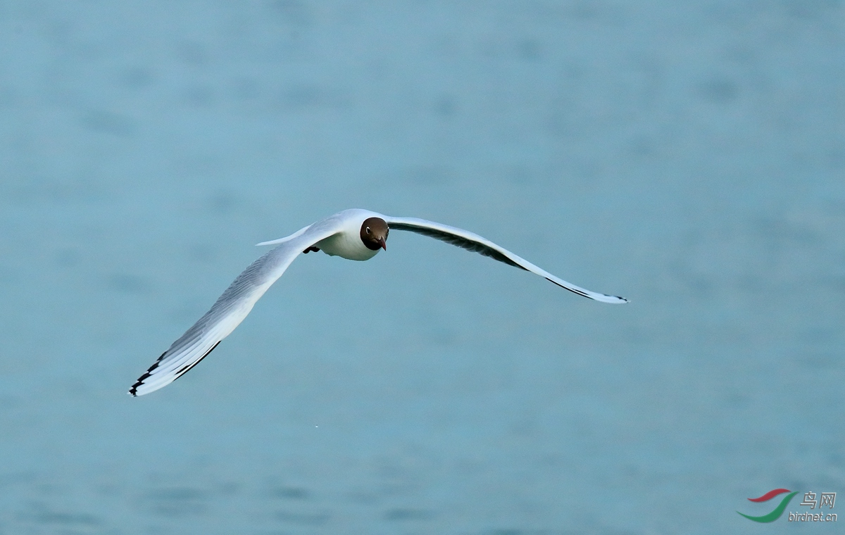 褐头鸥Brown-hooded Gull.jpg