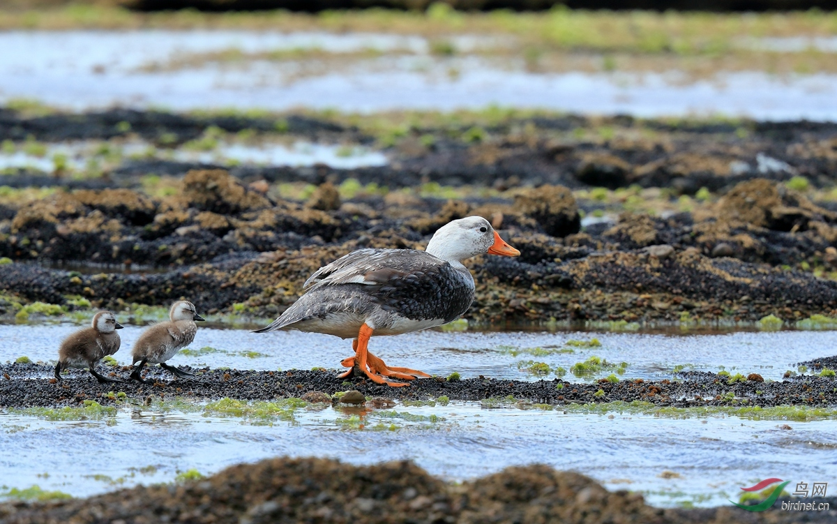 白头船鸭White-headed Steamer-Duck.jpg