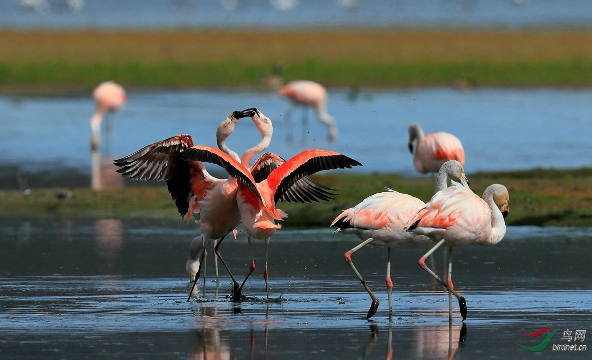 智利红鹳Chilean Flamingo.jpg