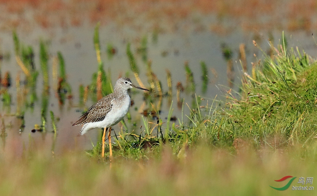 小青脚鹬Lesser Yellowlegs.jpg