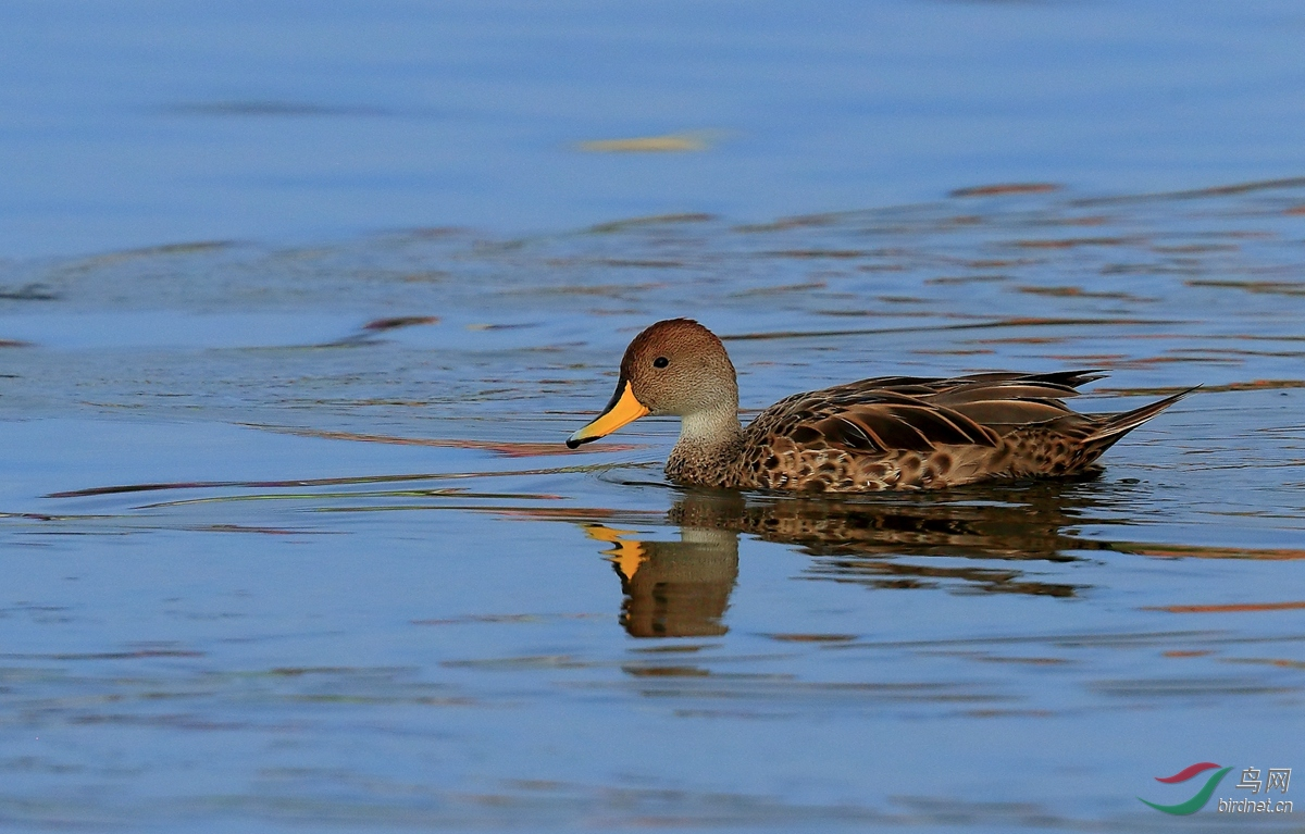 黄嘴针尾鸭Yellow-billed Pintail.jpg