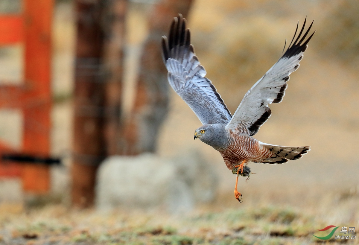 斑腹鹞Cinereous Harrier.jpg