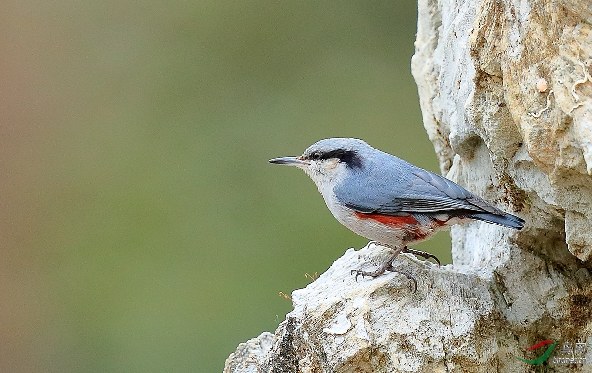 栗臀鳾Chestnut-vented Nuthatch.jpg