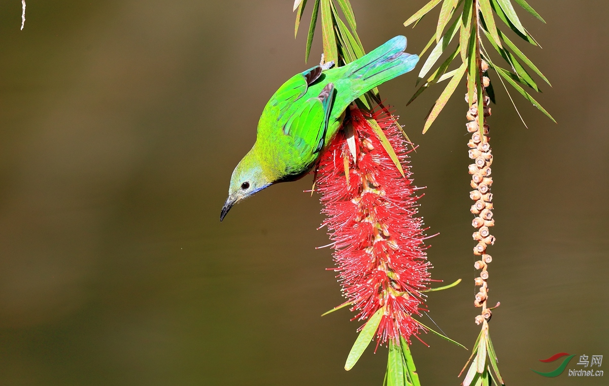 蓝翅叶鹎Blue-winged Leafbird.jpg