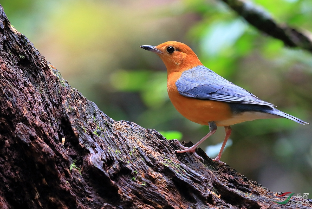 橙头地鸫Orange-headed Thrush.jpg