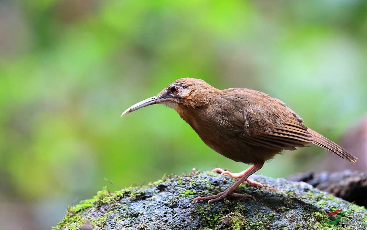 白喉鹩鹛White-throated Wren-Babbler(濒危).jpg