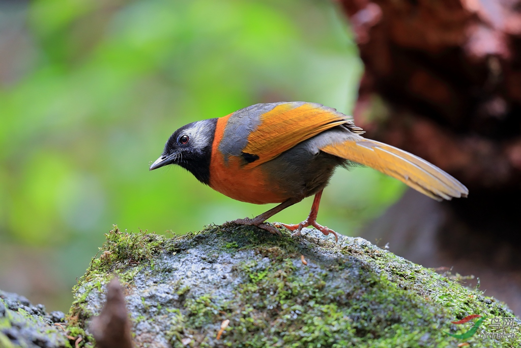 纹枕噪鹛Collared Laughingthrush(濒危).jpg