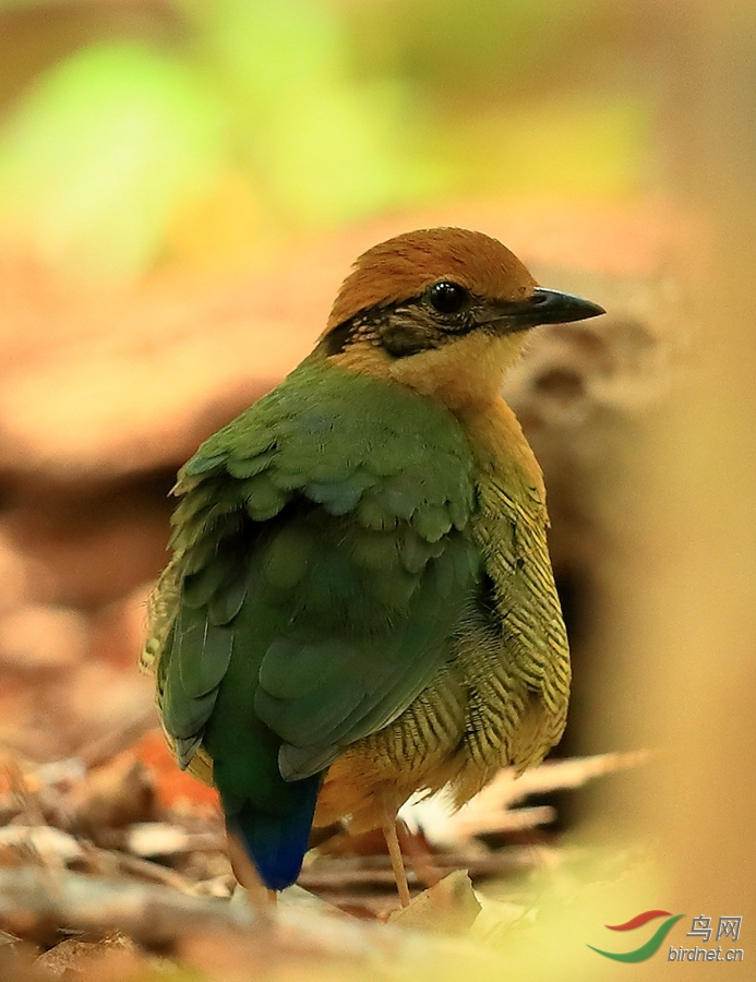 斑腹八色鸫雌Bar-bellied Pitta.jpg