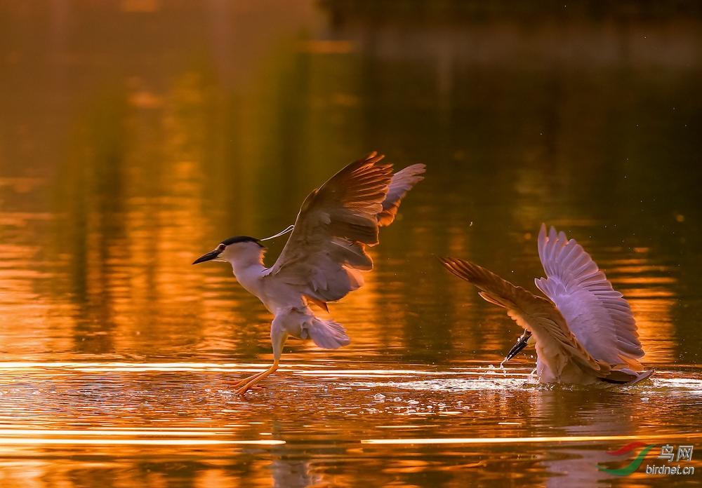 争渡,争渡,惊起一滩鸥鹭 - 山东版 Shandong 鸟