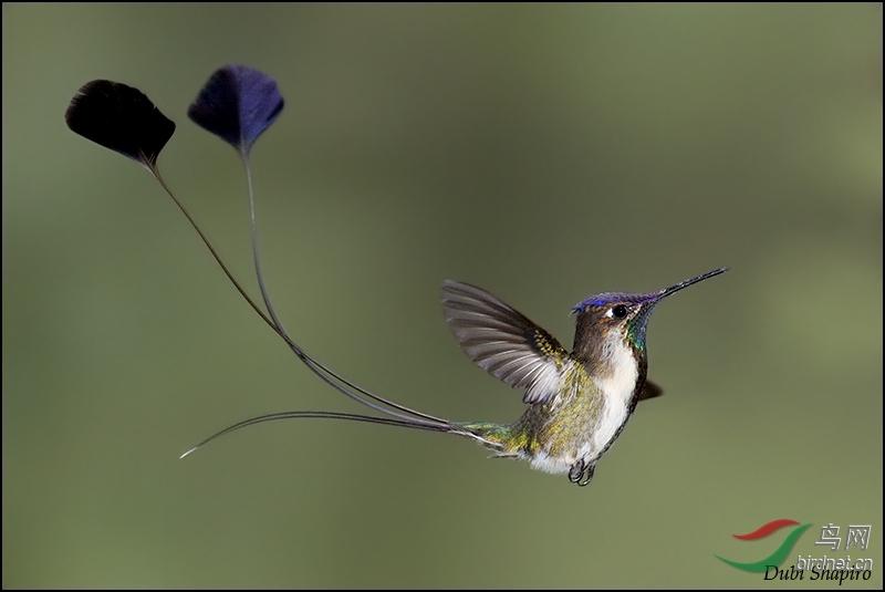 大提顿公园的安氏蜂鸟(荣获鸟网首页每日精华
